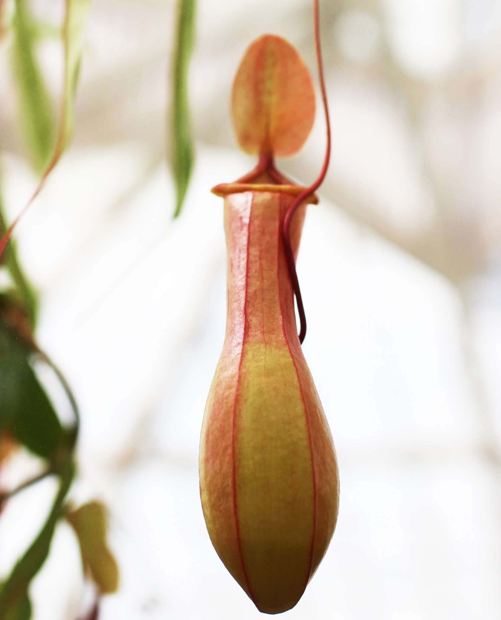 How to Care for Nepenthes (Tropical Pitcher Plants) How to Care for Nepenthes (Tropical Pitcher Plants) new picture