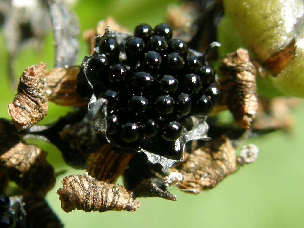 Dionaea muscipula seeds