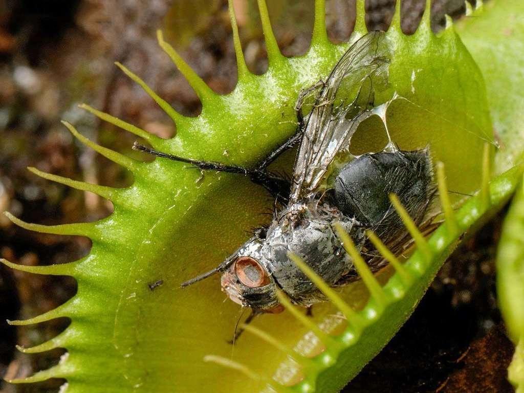 flytrap digested exoskeleton
