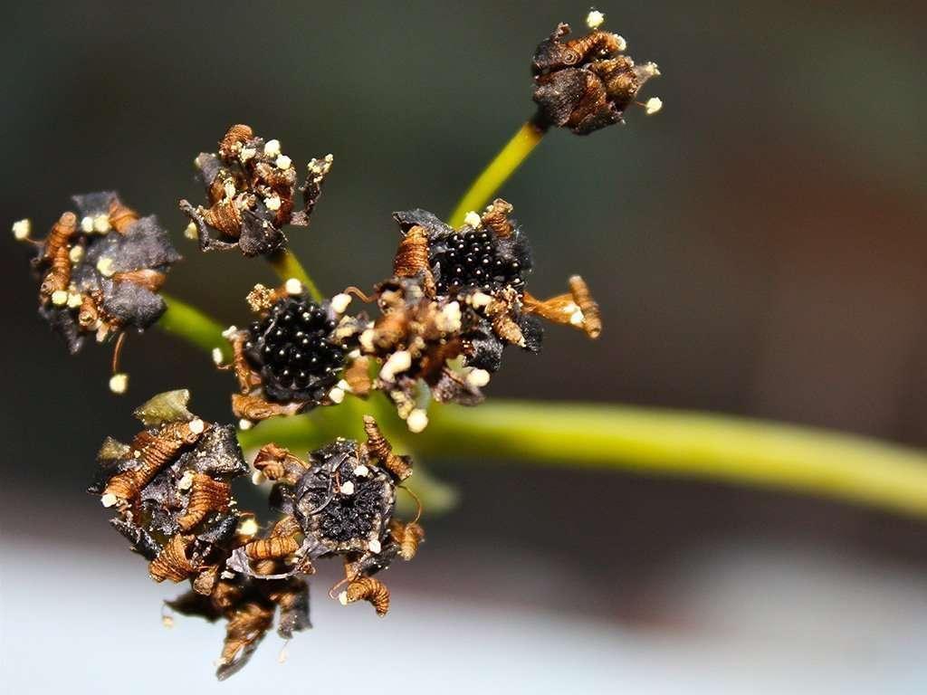 flytrap flower stalk with seeds