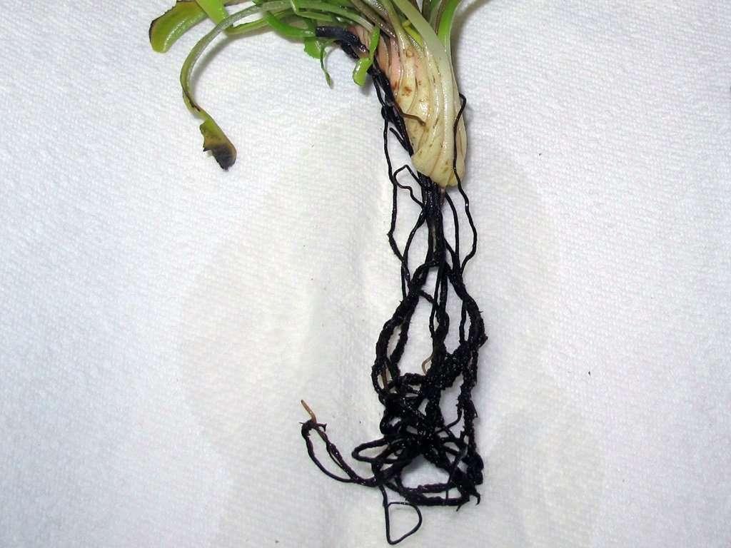 Flytrap roots