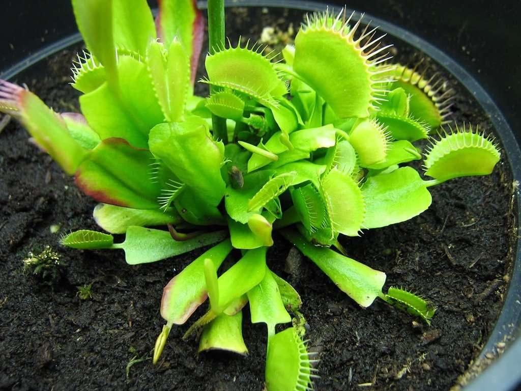 flytraps to divide
