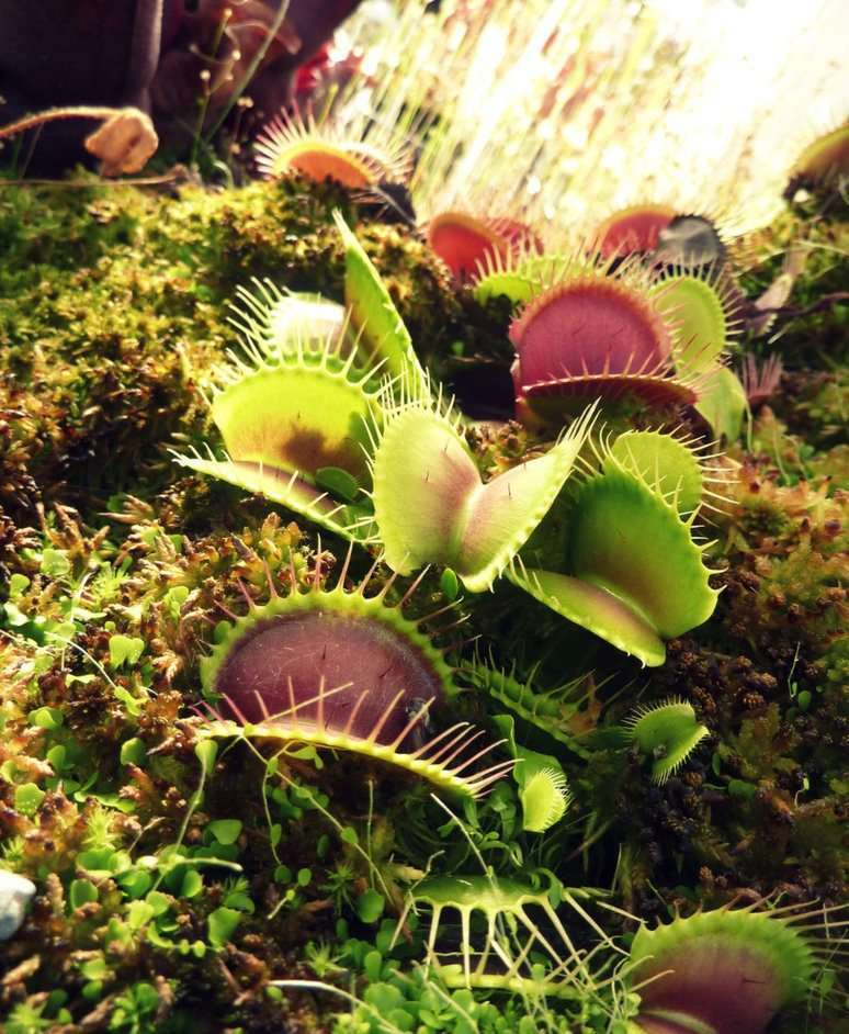 venus fly trap - Dionaea muscipula