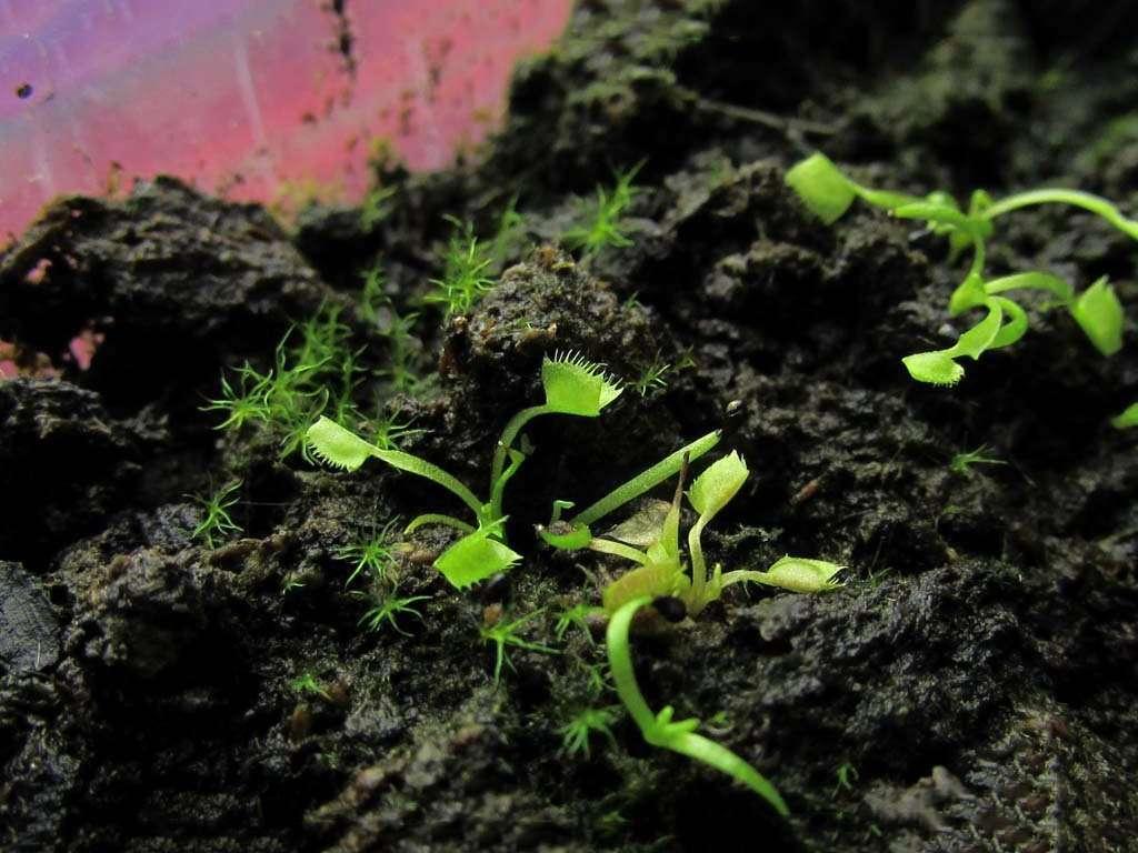 venus flytrap seedling