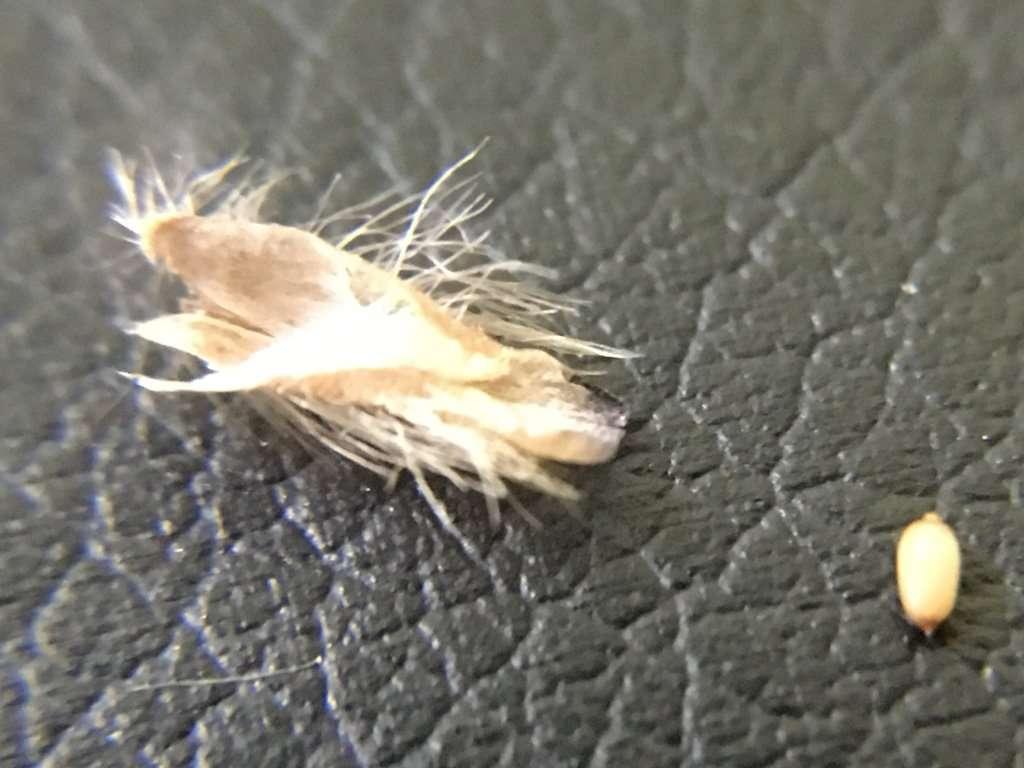Cephalotus seed