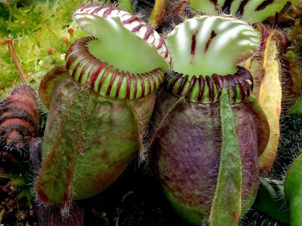 Cephalotus pitcher