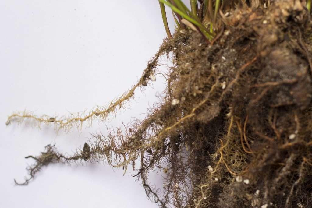 Close up Sarracenia rhizome