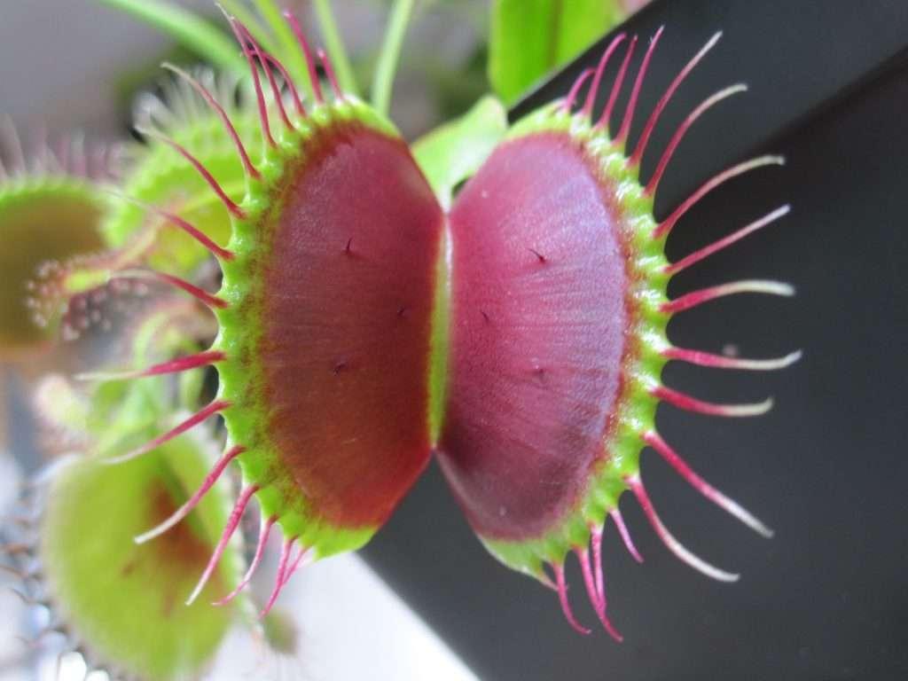 midrib of b-52 Venus flytrap