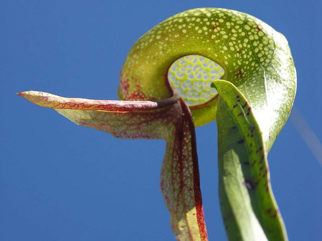 Windows on Darlingtonia hood