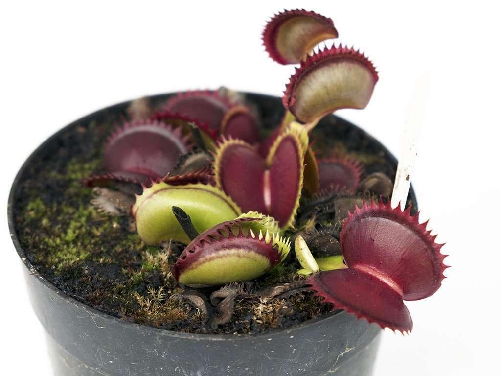 Dionaea muscipula jaws a dentate flytrap
