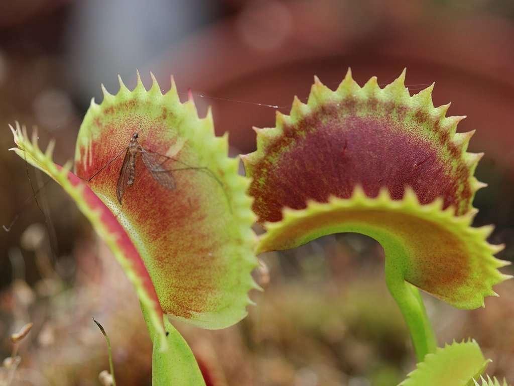 Dionaea muscipula Dentate