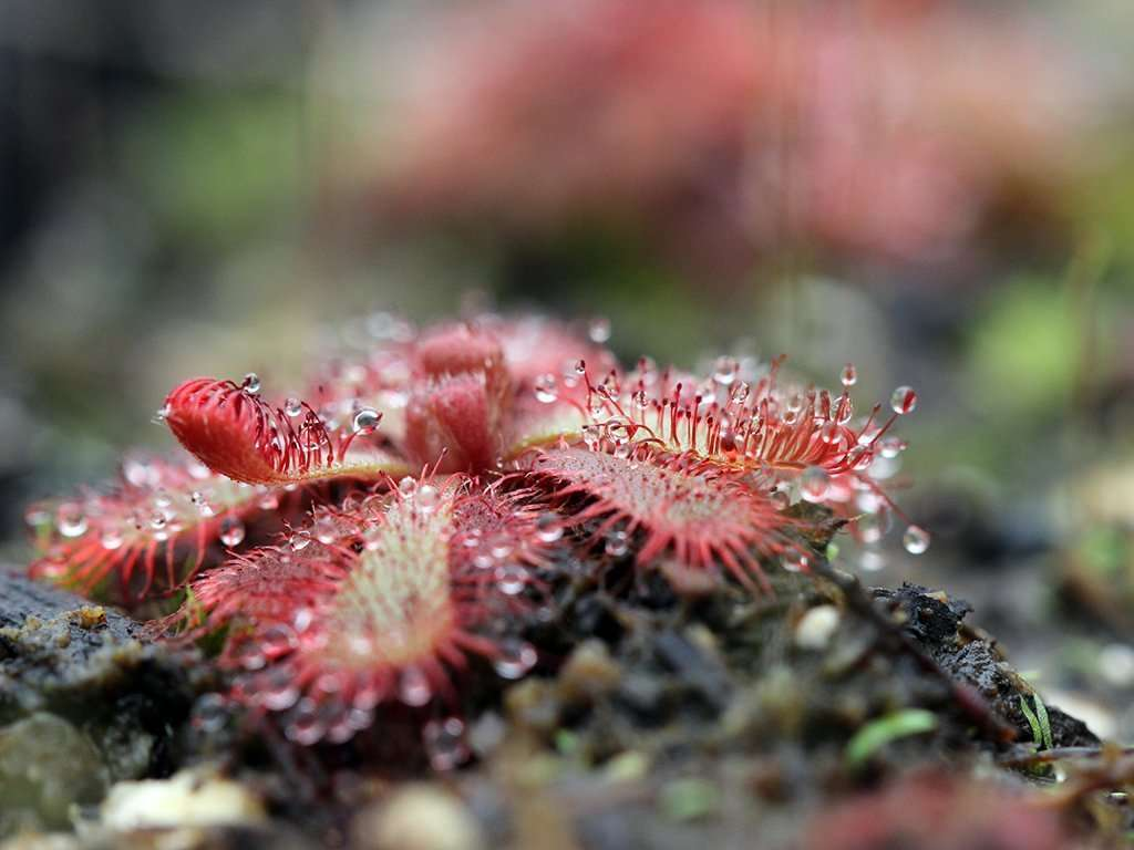 drosera in soil