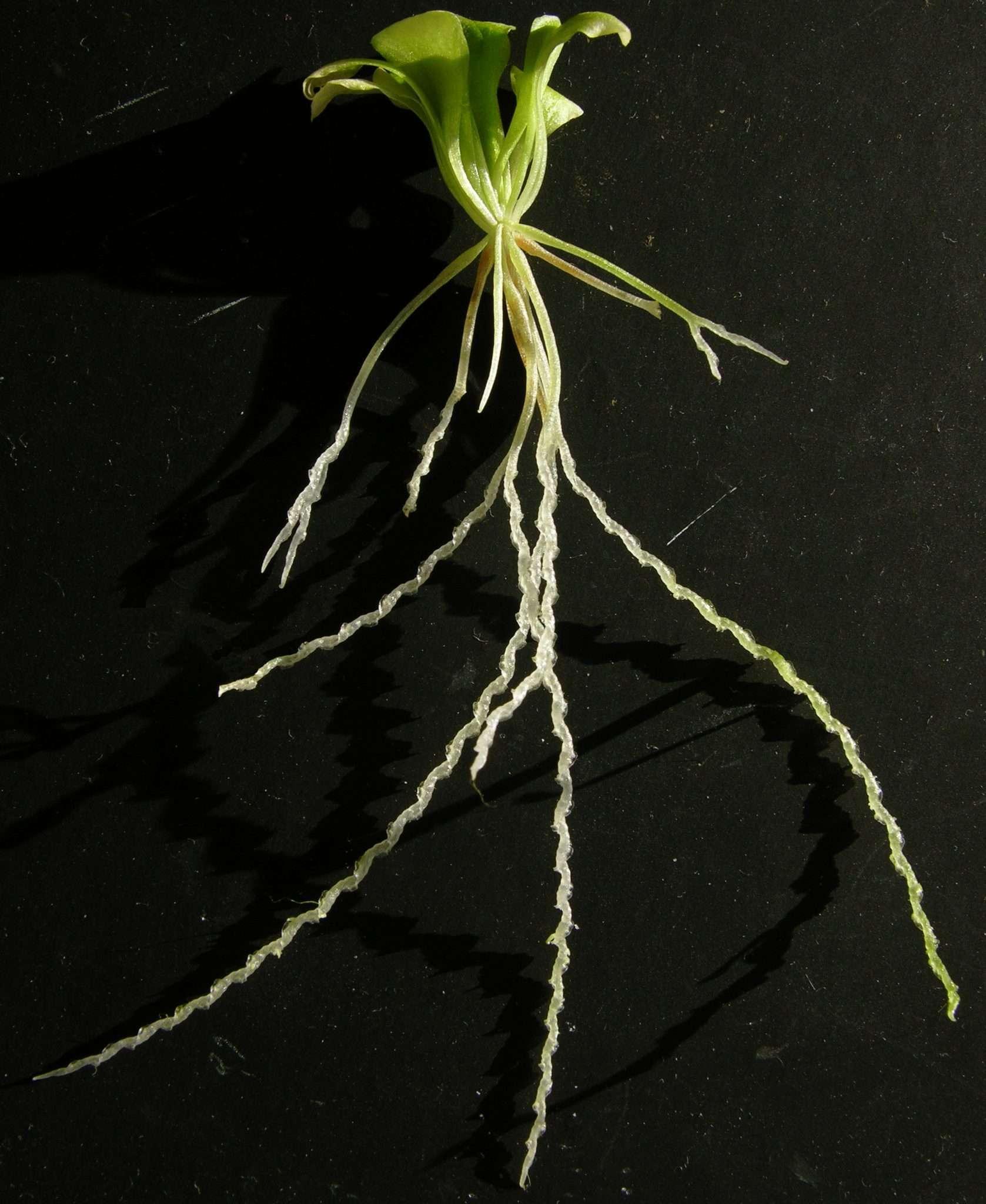 Corkscrew Plant - Genlisea