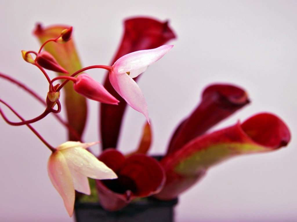 Heliamphora folliculata flower