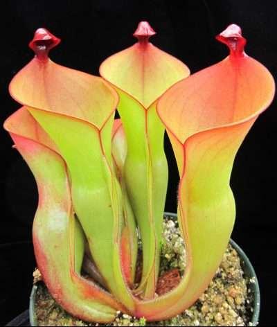 Sun Pitcher plant - heliamphora