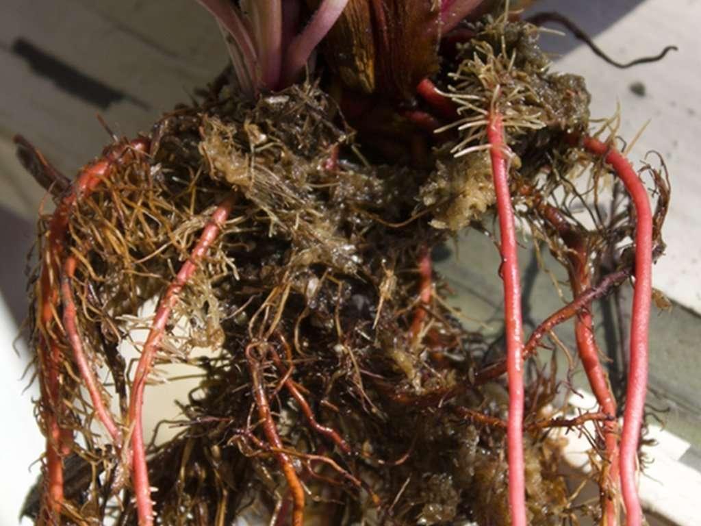 Heliamphora root