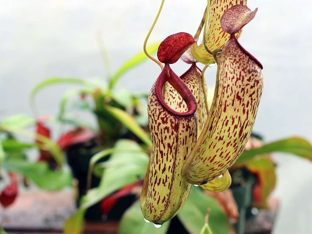 nepenthes aristolochiodes hybrid