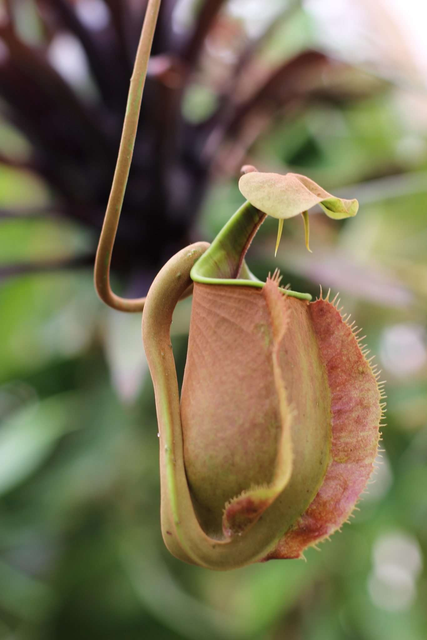 Nepenthes bicalcurata