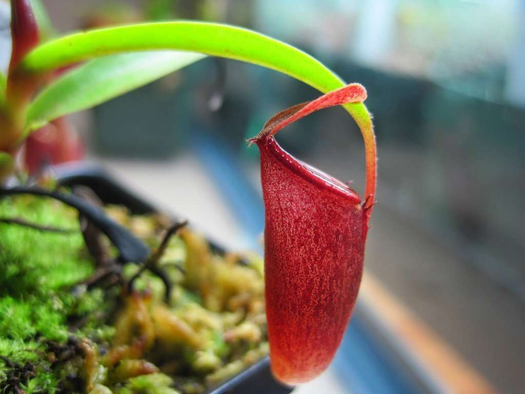 Nepenthes pitcher