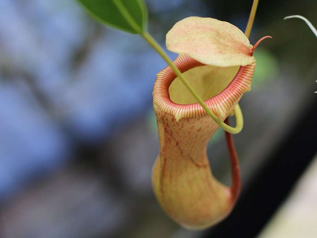 The trap of Nepenthes ventricosa