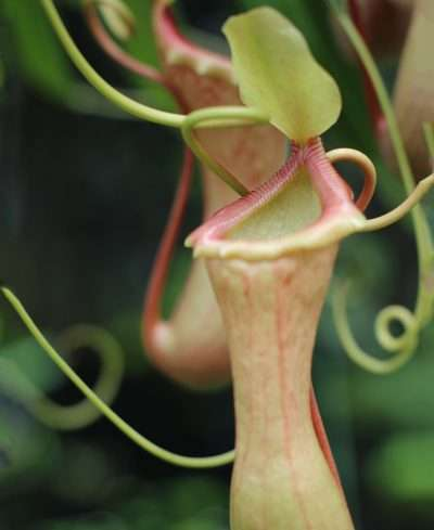Tropical Pitcher Plant - Nepenthes
