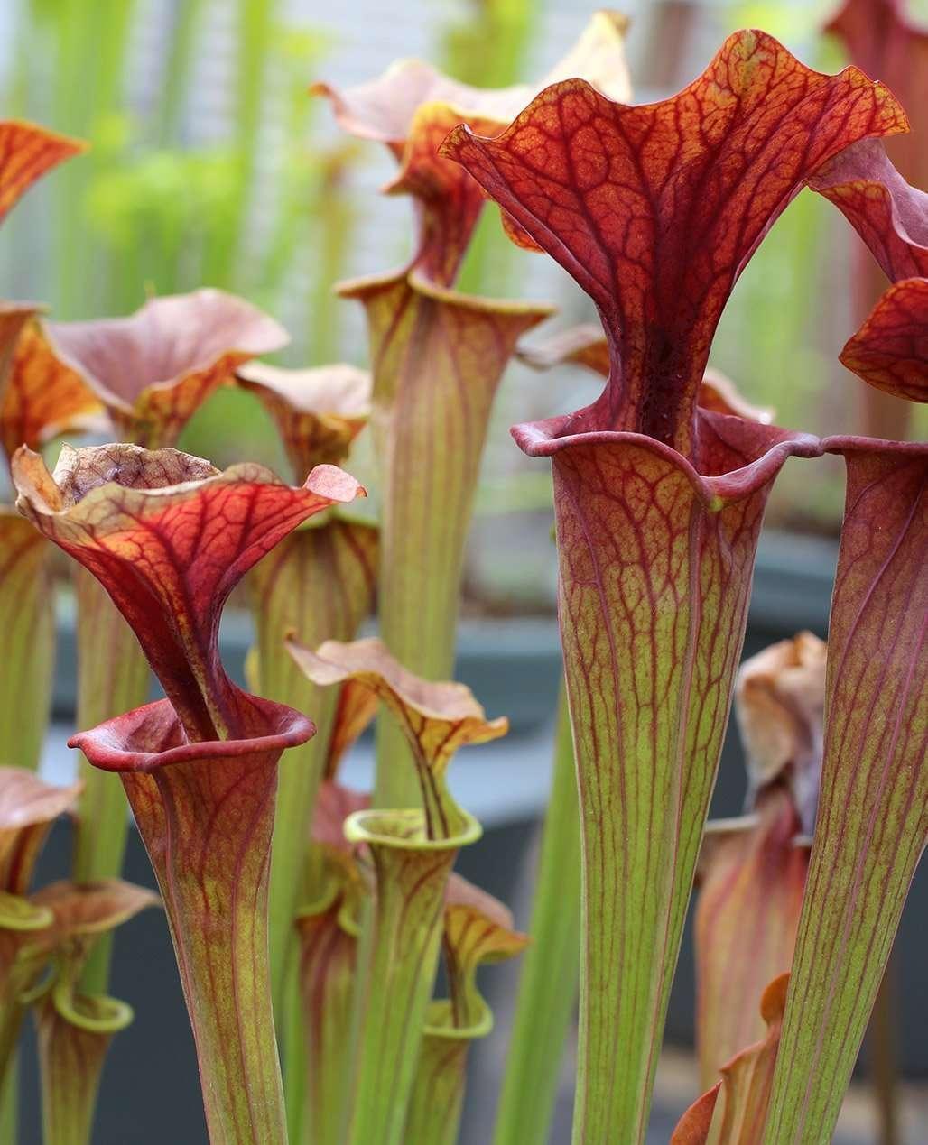 10s carnivorous plants seeds Sarracenia oreophila Green pitcherplants