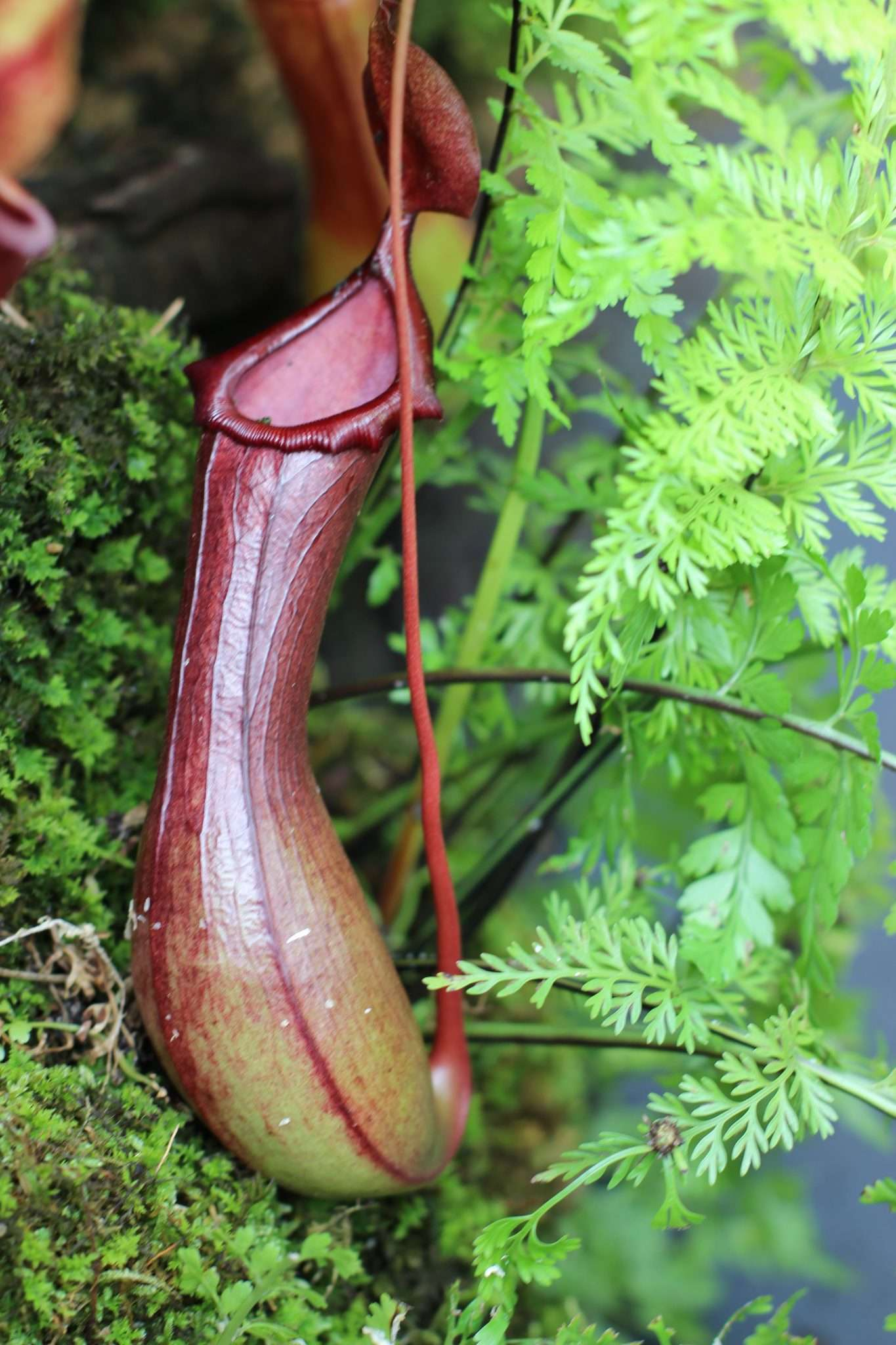 Nepenthes ventrata
