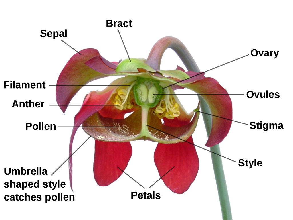 Anatomy of a Sarracenia flower