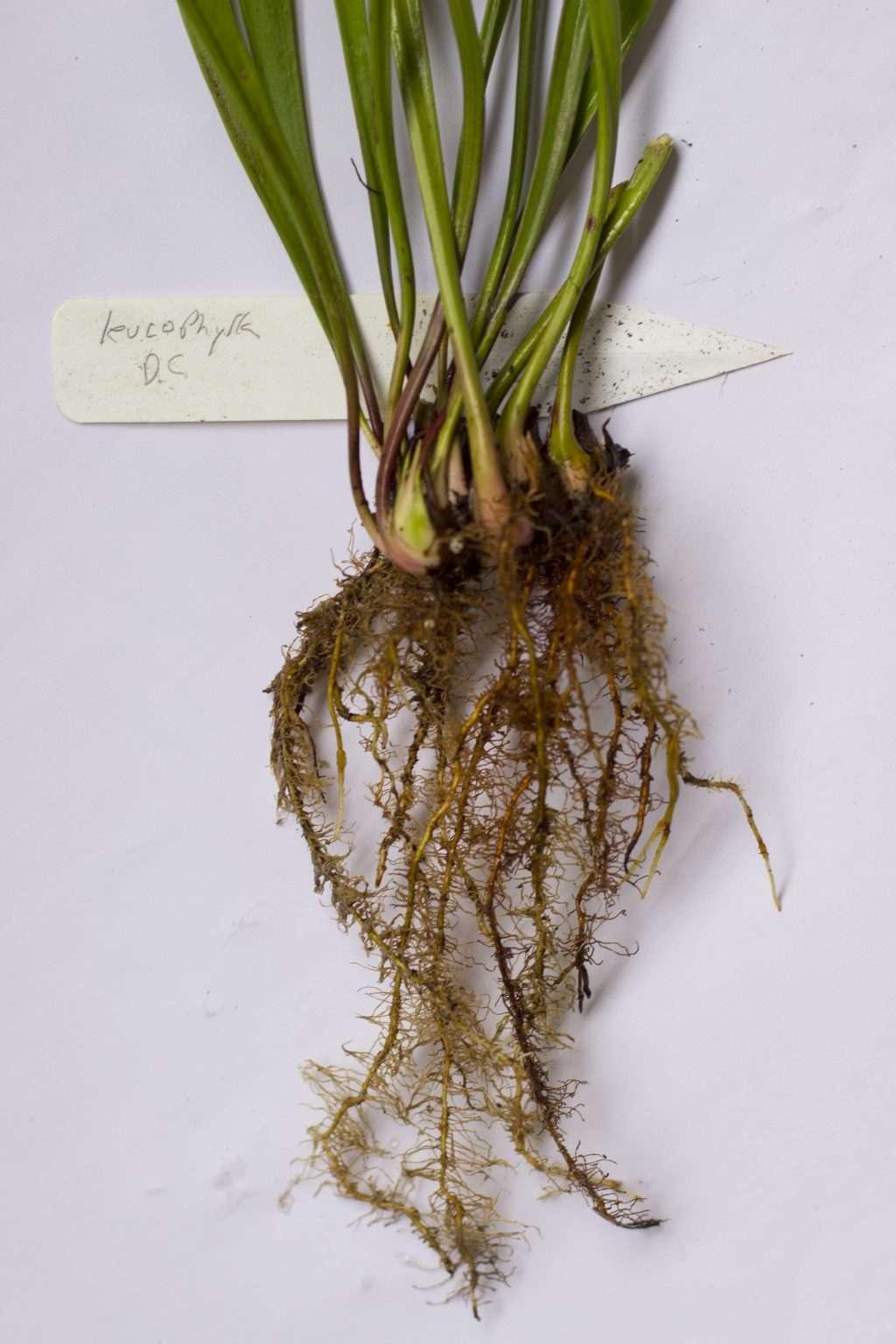 Sarracenia division
