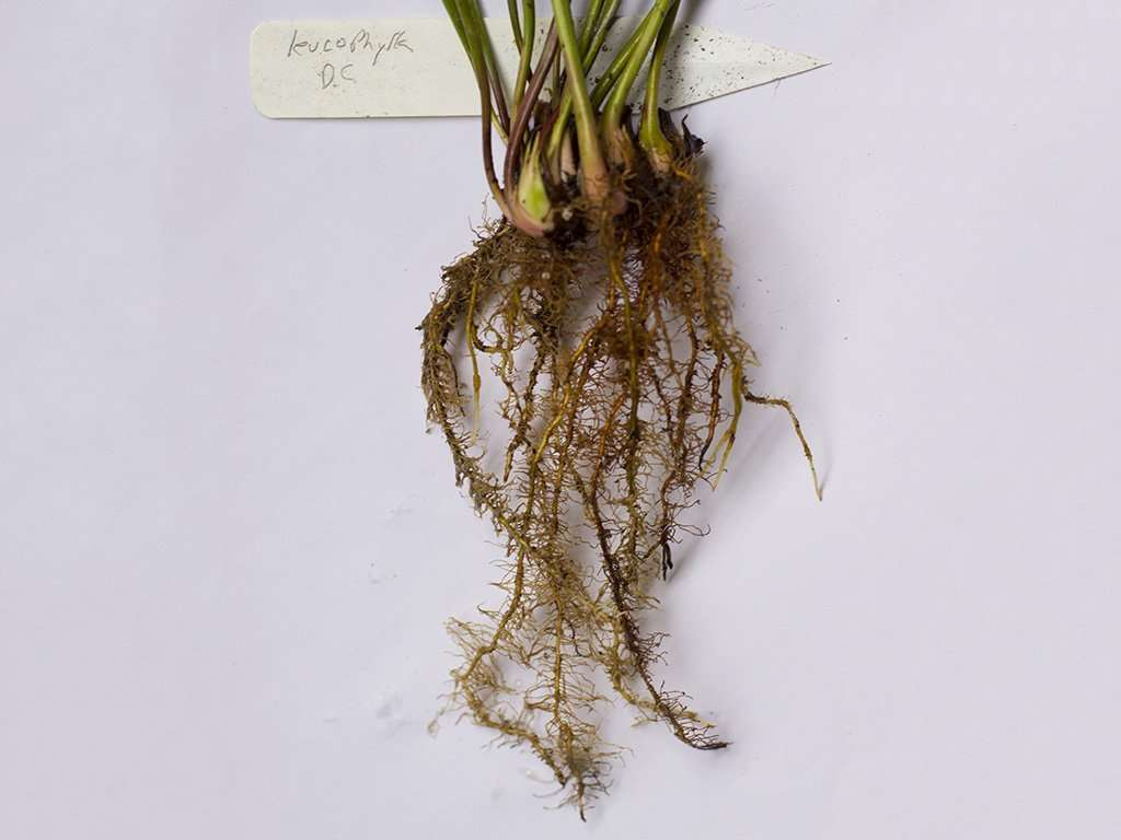 Sarracenia root system