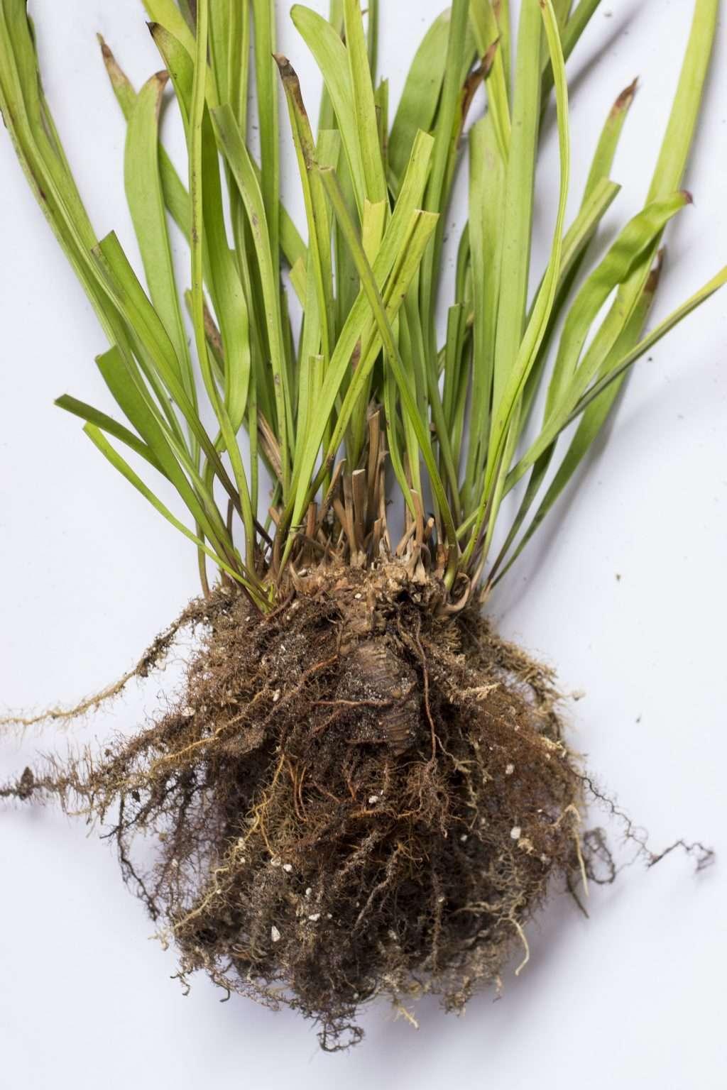 Sarracenia rhizome