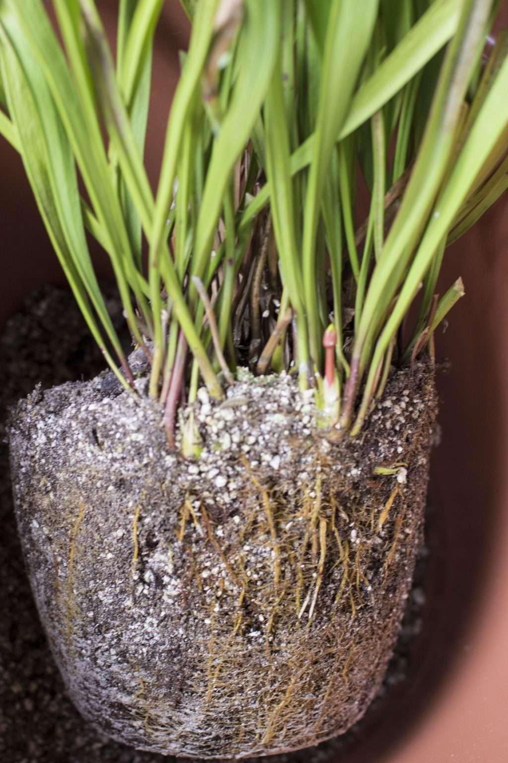 Sarracenia root ball