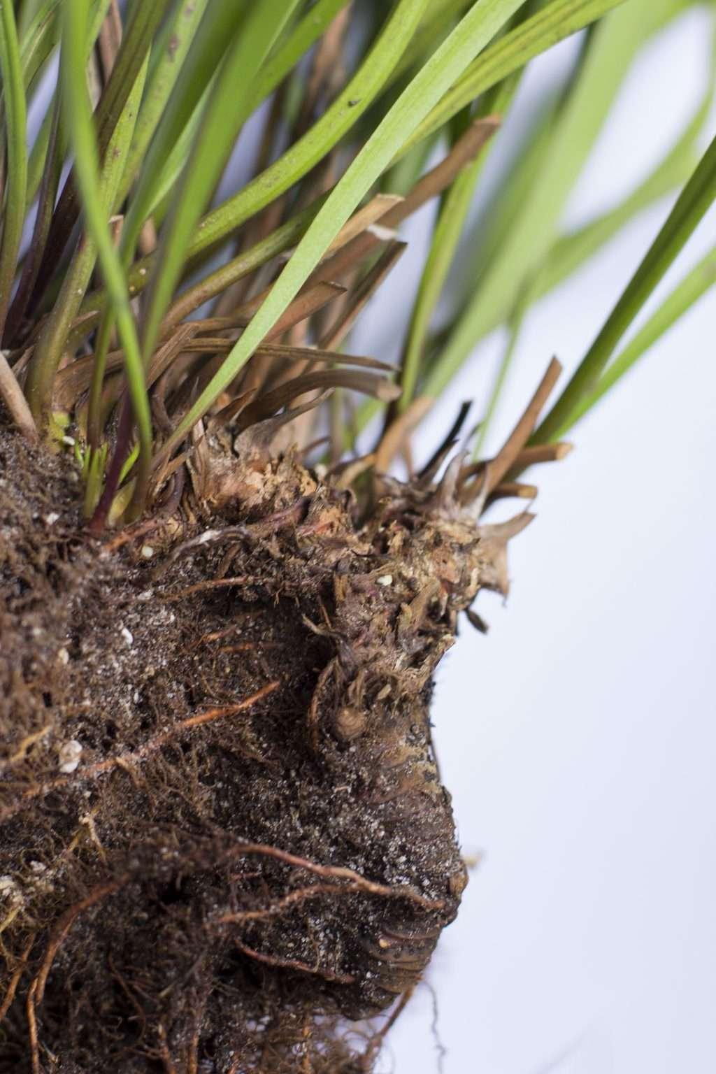 Woody Sarracenia rhizome