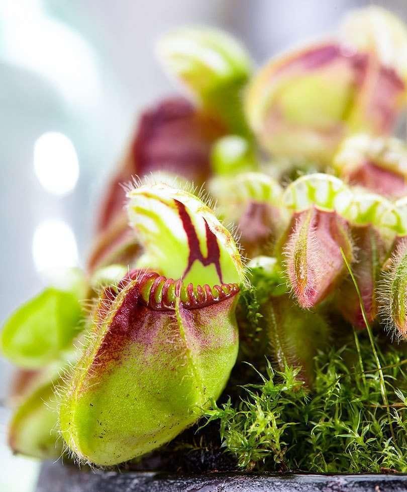 Australian pitcher plant