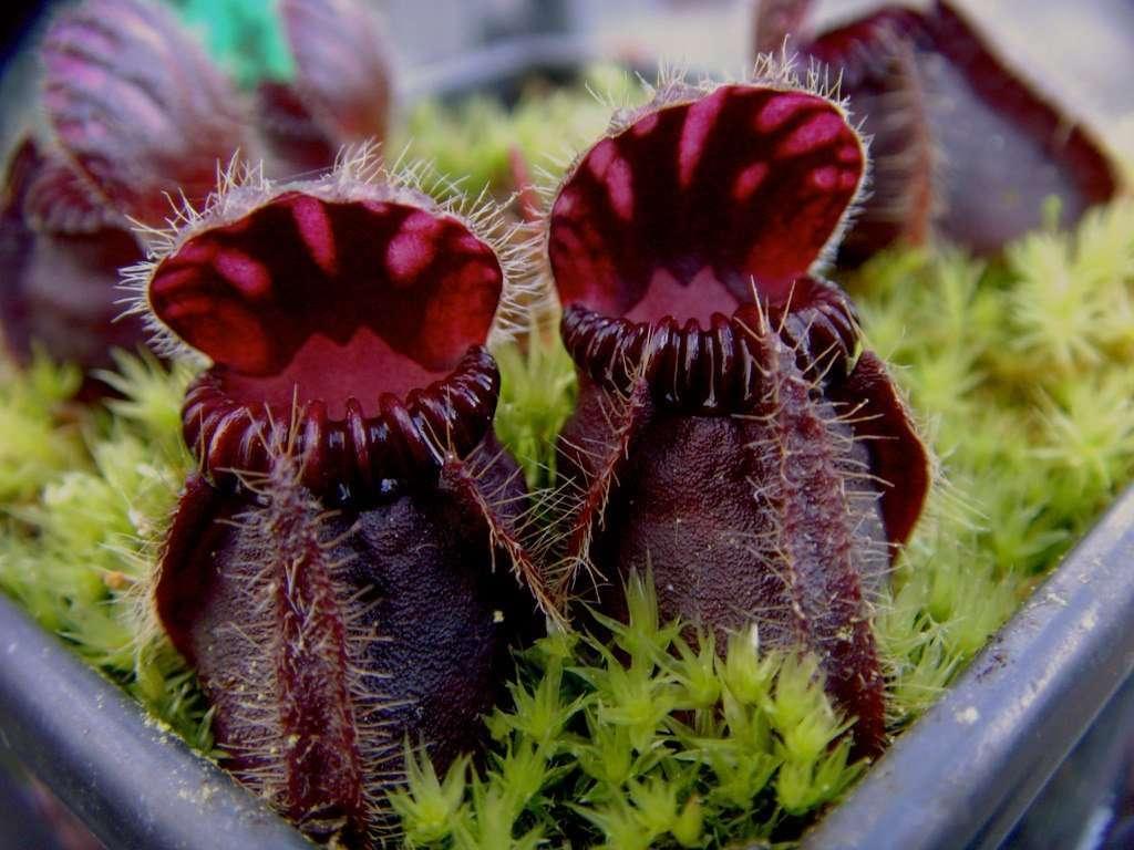 Cephalotus follicularis black cultivar
