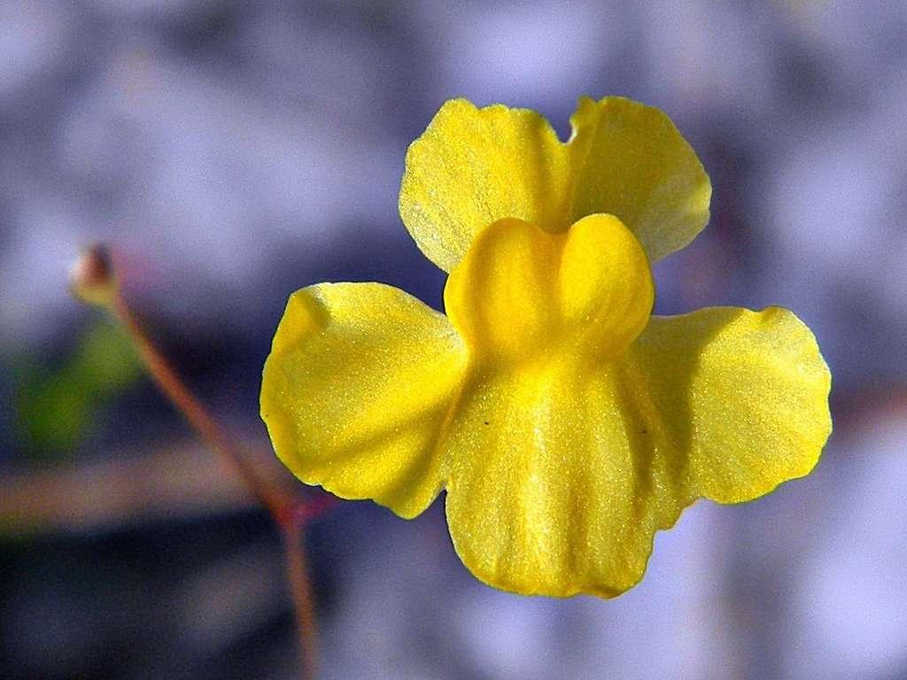 bladderwort flower