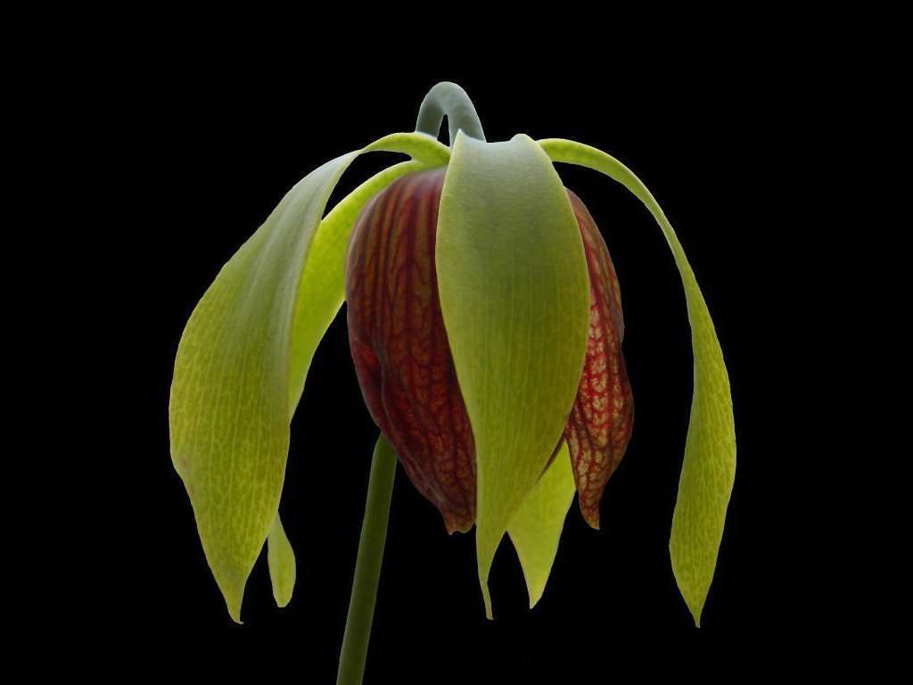 Cobra lily flower