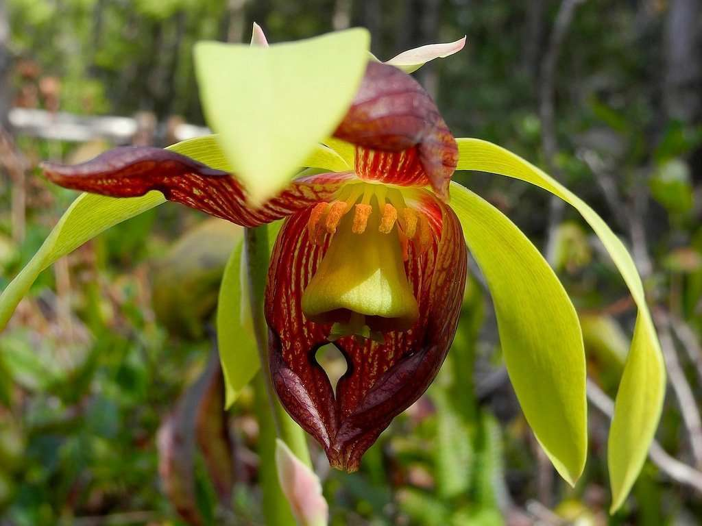 Darlingtonia californica flower anatomy