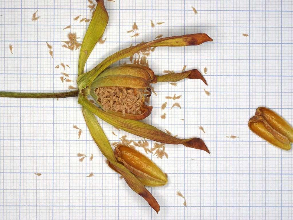 cobra lily seeds