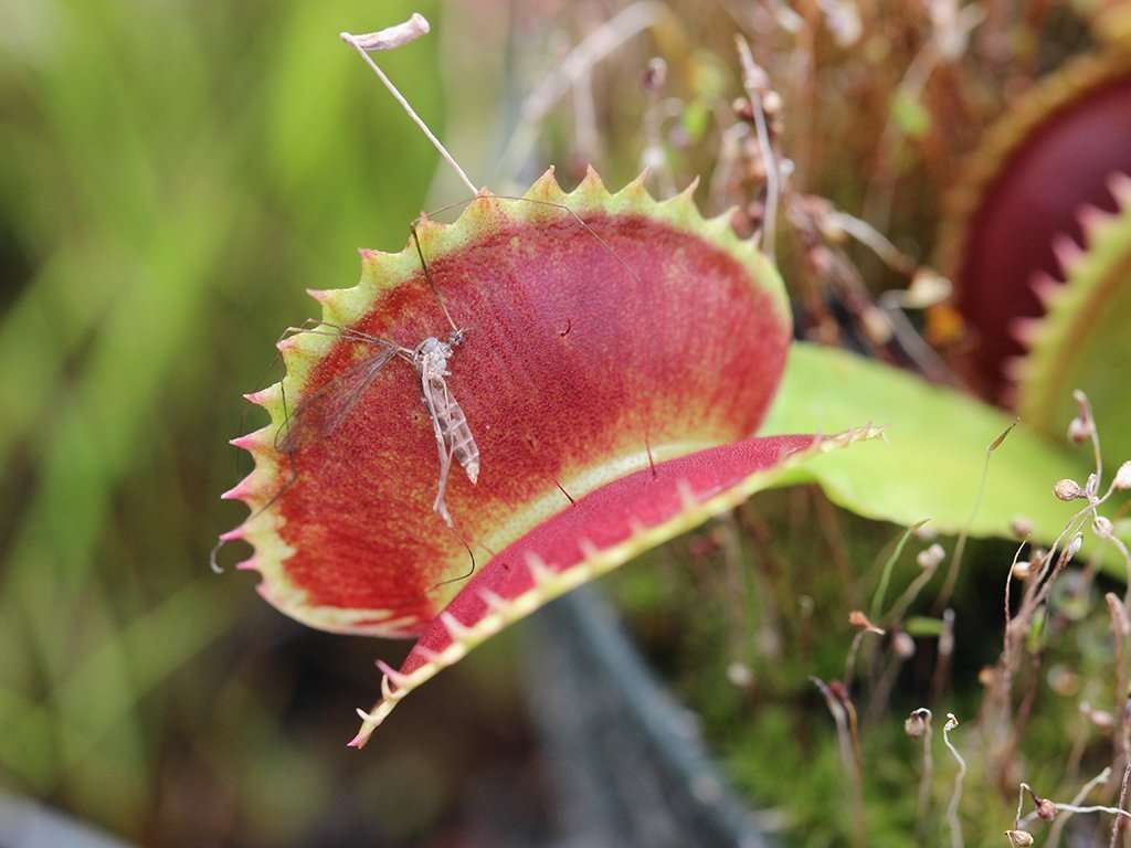The trap of a Venus flytrap Dentate