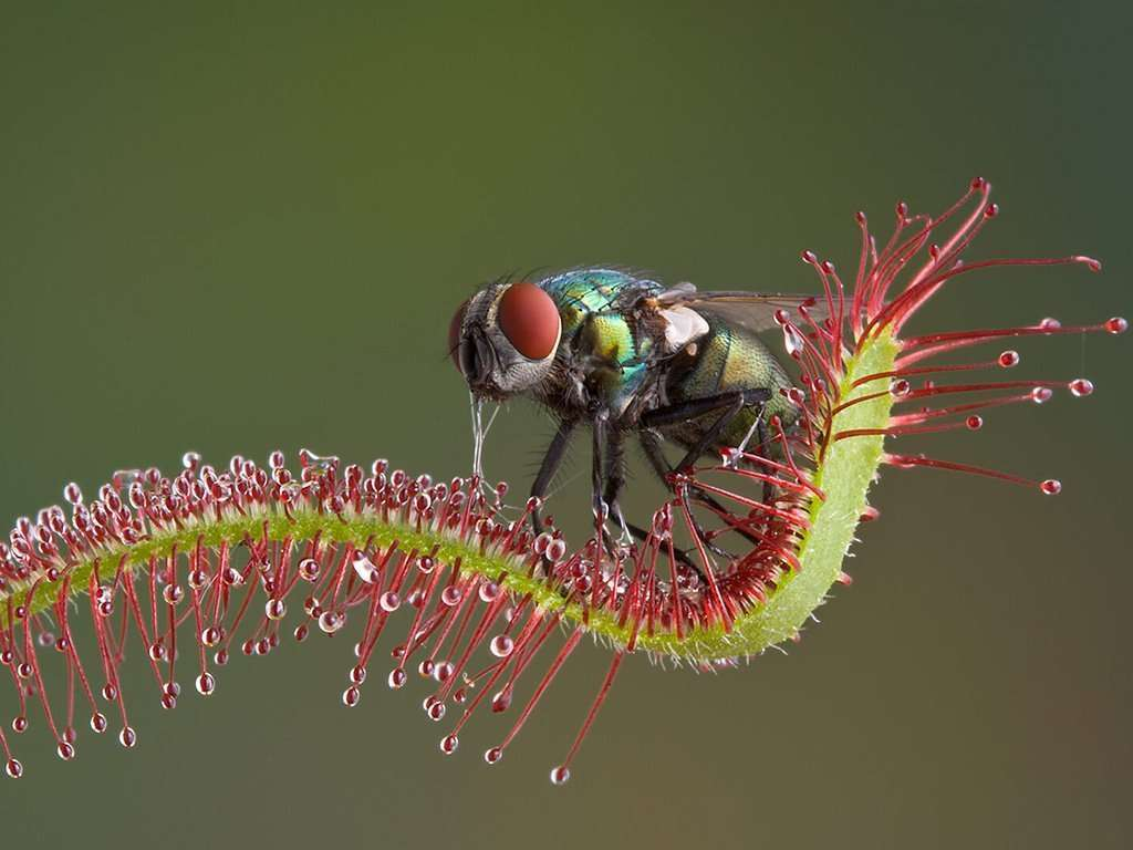 Sundew with a fly