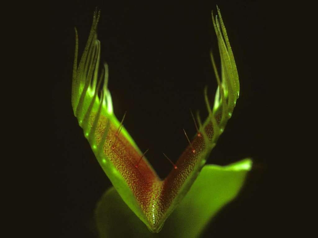 Flytrap trigger hairs