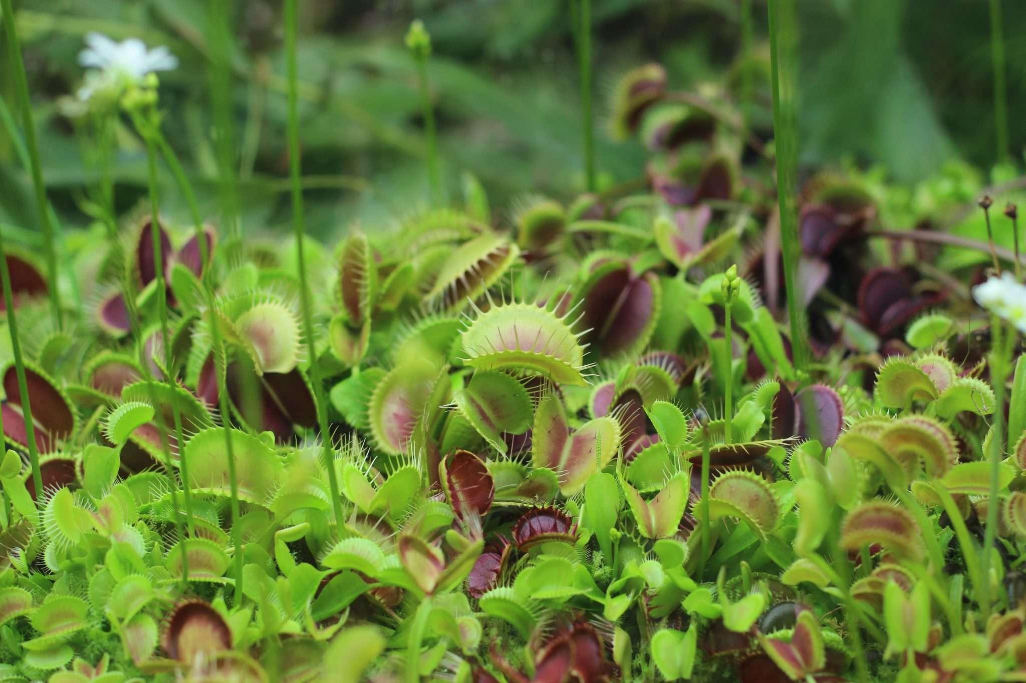 healthy new Venus flytraps