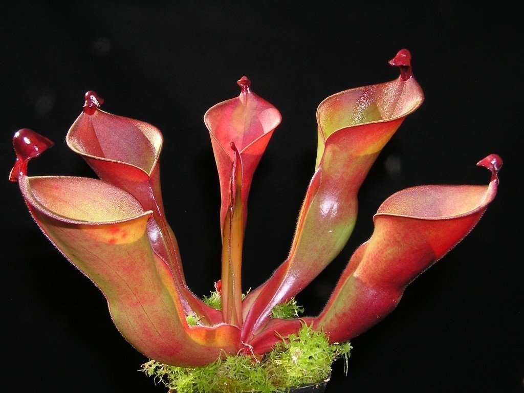 heliamphora
