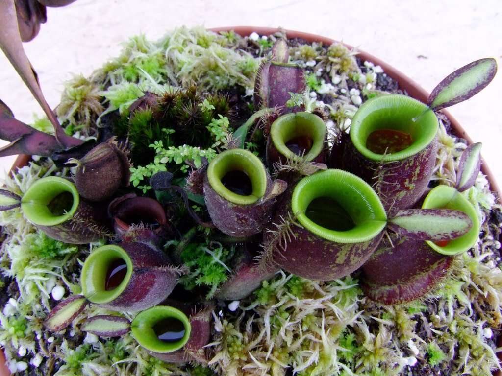 nepenthes ampularia