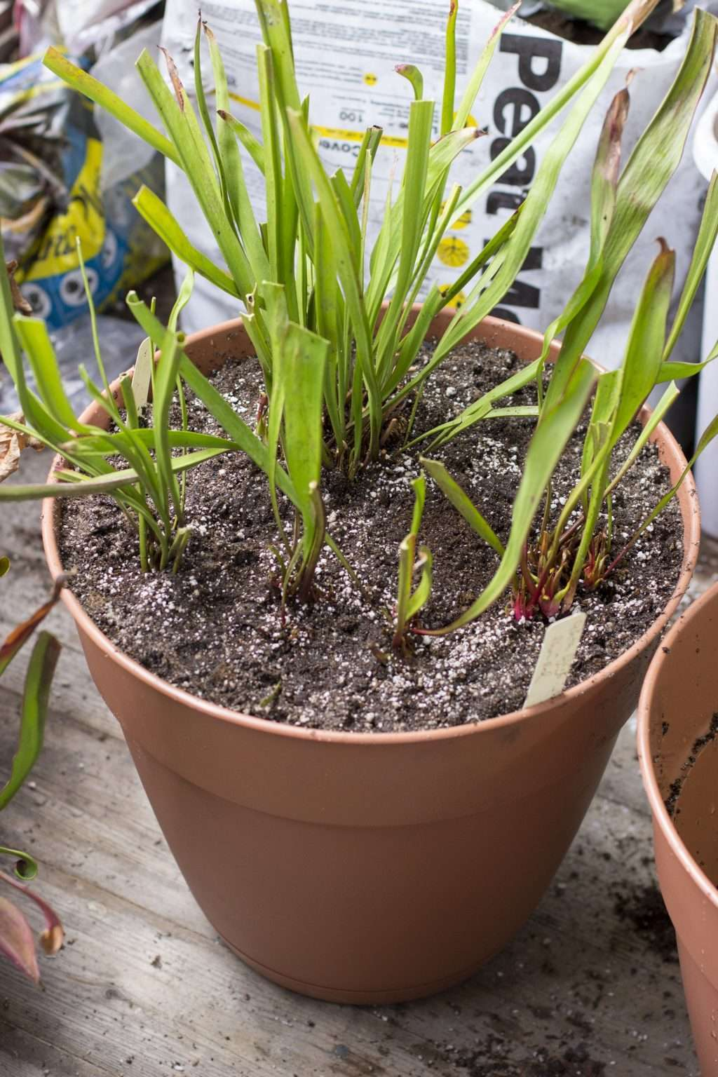 repotted pitcher plants