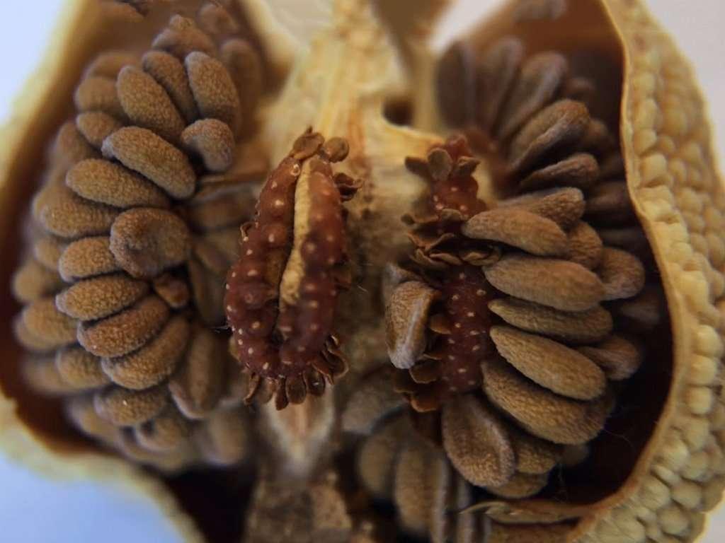 Sarracenia seed pod