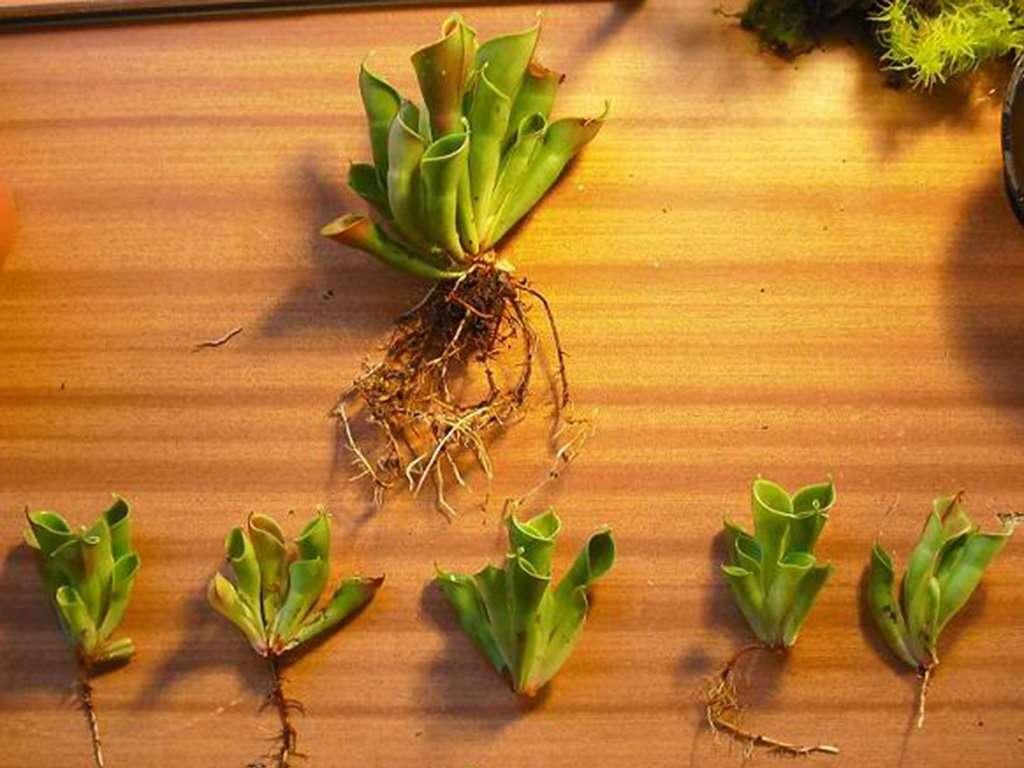sun pitcher roots