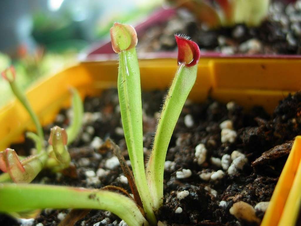 sunpitcher plant seedling