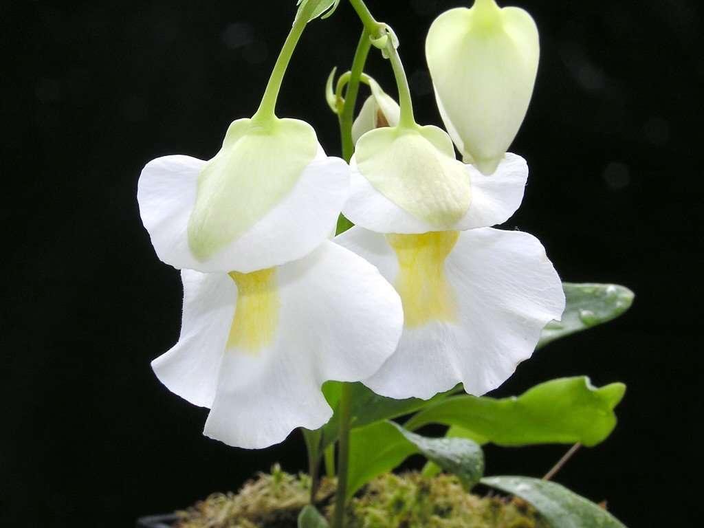utricularia flower